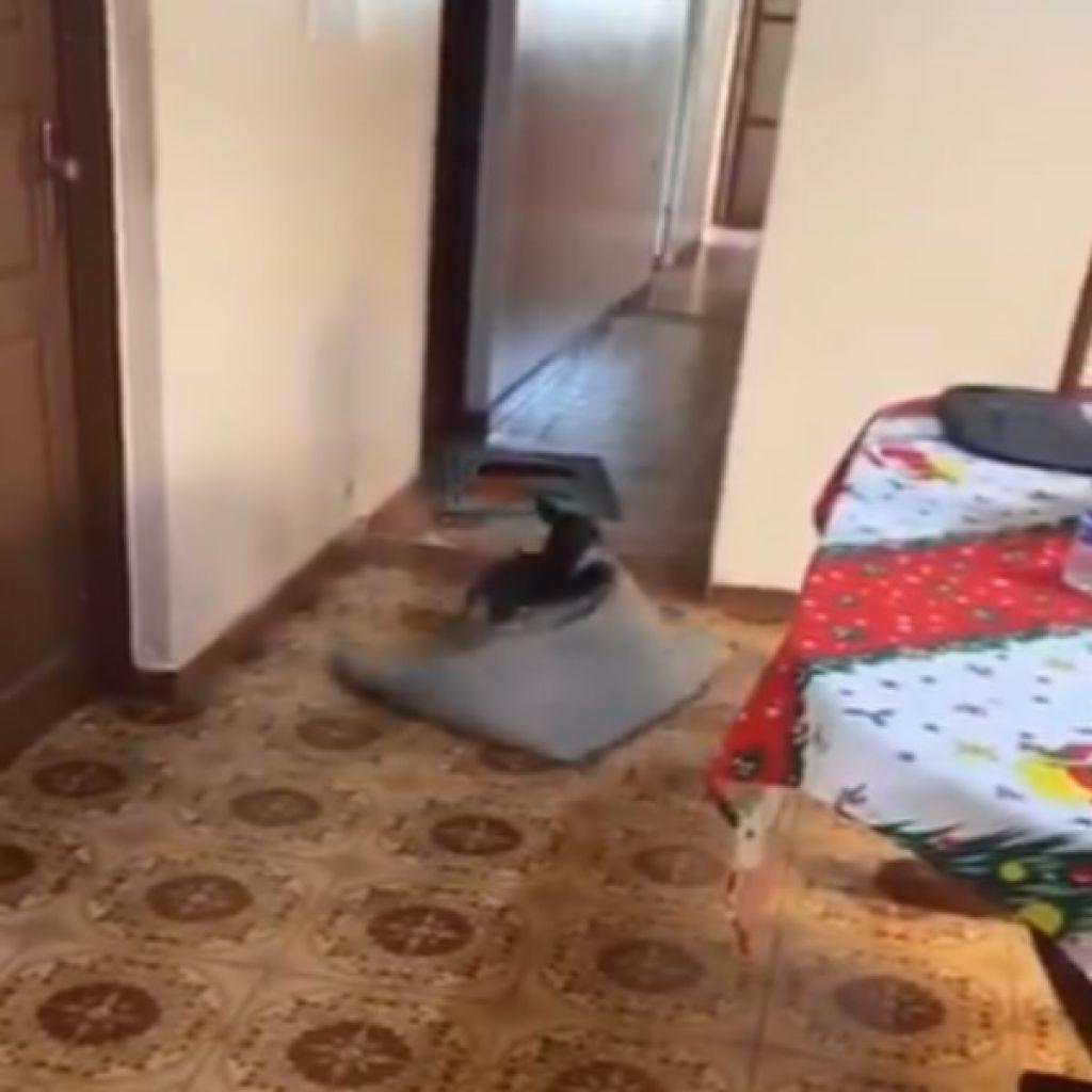 阿嬤來了,我要趕快把地毯拖走!