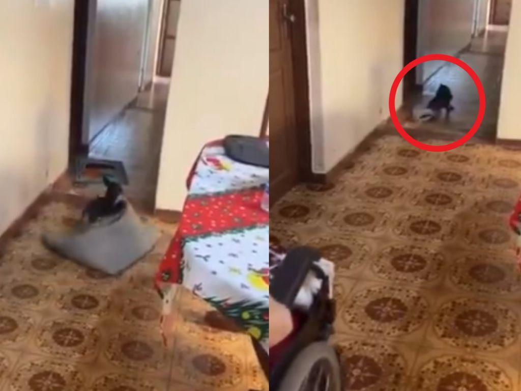 (影)路障我來清!阿嬤輪椅要過貼心狗為她移地毯 網:超孝順