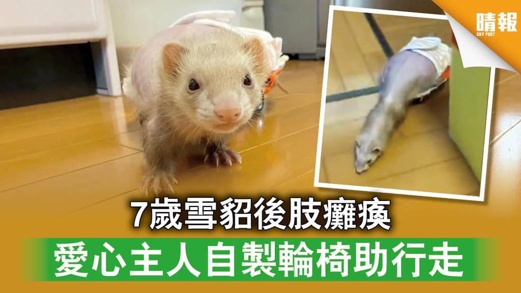 【日韓記事】7歲雪貂後肢癱瘓 愛心主人自製輪椅助行走