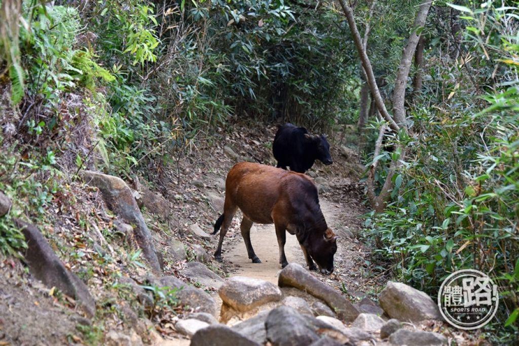 雖然路窄,遇上其他郊遊人士時都未必需要停下讓路;遇上牛吃草就只能稍等一下